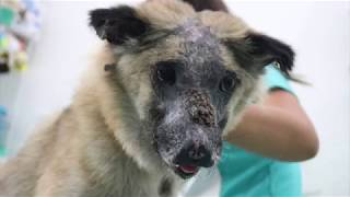 This Is The Background Story Of Hercules The Brave Tortured Dog Phnom Penh