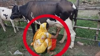 Cow Milk Milking | Woman Taking Milk by Hand To Hand | Woman milking Cow by Hand in Indian