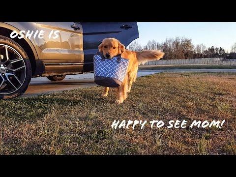 Golden Retriever Reacts to Dad Coming Home vs. Mom