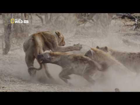 Hienas vs león