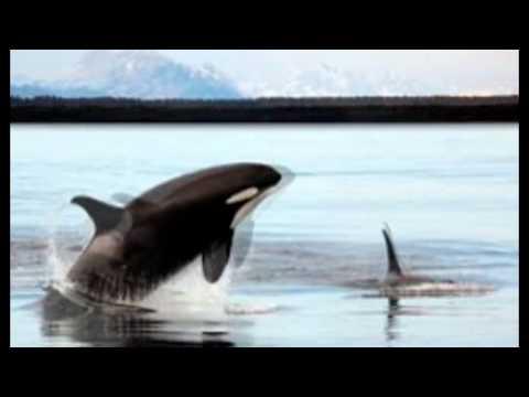 ballena orca vs tiburón blanco