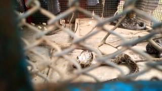 Snake eat alive chicken
