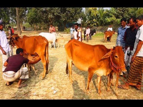 Xxx Mp4 671 কম দামে বাচ্চাসহ দুধের গাভি কিনুন ও সাক্ষাৎকার দেখুন Desi Dairy Cow With Calves Market Price 3gp Sex
