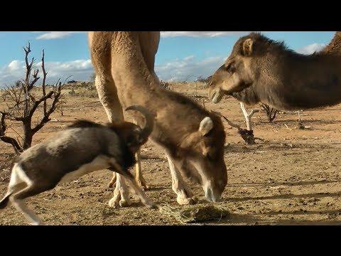 Fearless Ram vs. Big Camels