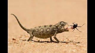 حيوانات خُلِقت لتفترس   الحرباءُ و الأفعى الجرسية مفترساتُ الصحراء الأكثرُ غرابة !!