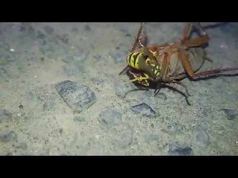 سر بریدن یک سوسک توسط یک زنبور