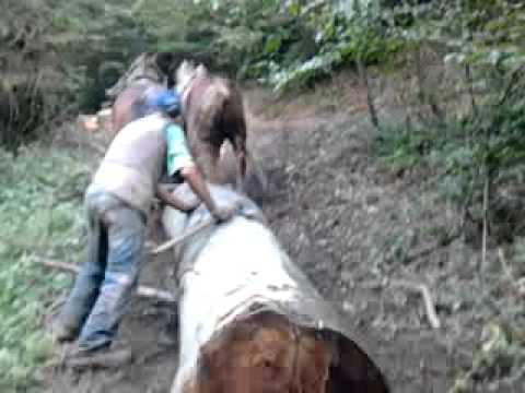 Izvlačenje drva sa konjima Majdan