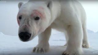 Polar bears play football with spy cam | Polar Bear Spy On The Ice | BBC Earth