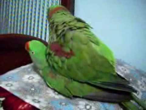 Xxx Mp4 Nadeem Parrot Alexandrine Parakeet Raa Tota Mating 3gp Sex