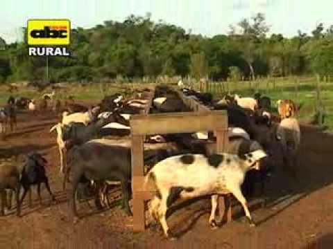 Cría de ovinos de diversas razas