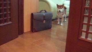 お散歩に行きたくない訳を話す柴犬 Shibainu Talking