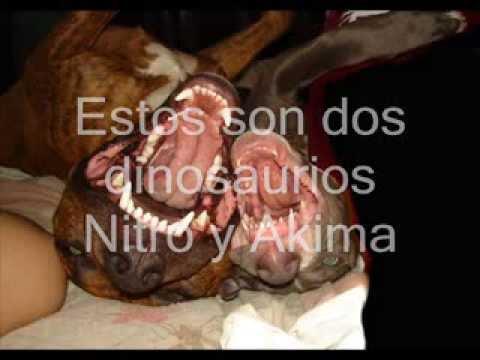American Pit Bull Terrier en Argentina