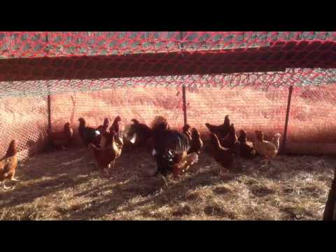 Lacy Roundhead vs 10 Red Hens
