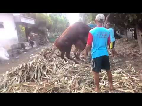 Xxx Mp4 Trending Cow Mating On 2018 3gp Sex