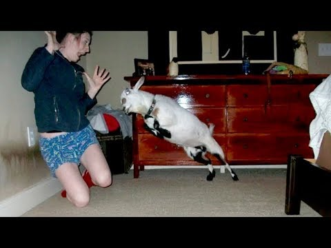 I m 101 SURE that you will LAUGH EXTREMELY HARD Funny JUMPING GOATS videos