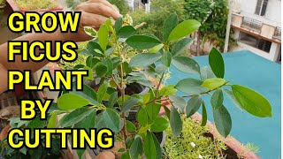 Propagation of Ficus Plant || How to Grow Ficus Plant by Cutting || Fun Gardening