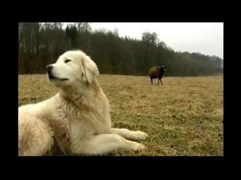 Maremmano Abruzzese Herdenschutzhunde in Mecklenburg Vorpommern