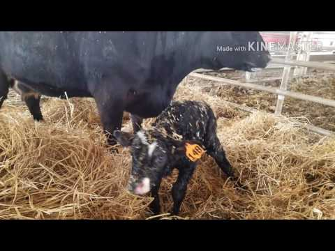 The ins and outs of operating cow and calf operation, you never know what's going to happen