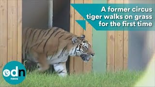 A former circus tiger walks on grass for the first time