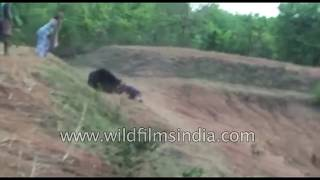 Ferocious bear in Odisha - man pays with his life for a selfie