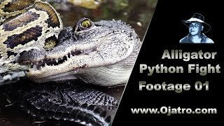 Small Alligator vs Big Python 01 Stock Footage