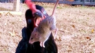 Chicken Eating Mouse