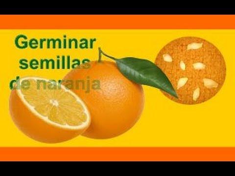 Cómo sembrar y germinar semillas de naranja I