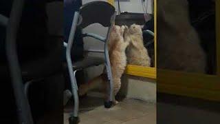 Cat Scratches at Reflection || ViralHog