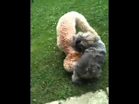 Xxx Mp4 Shitzu Chasing My Dog Xxx Lol 3gp Sex