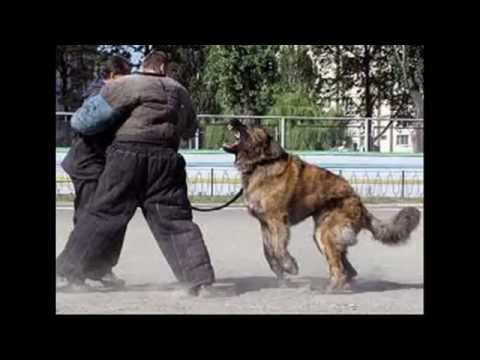Top 20 Most Strongest Guard Dogs