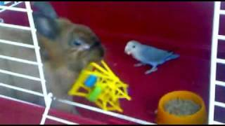 Rabbit and parrot playing together