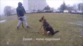 Szkolenie owczarków niemieckich we Wrocławiu