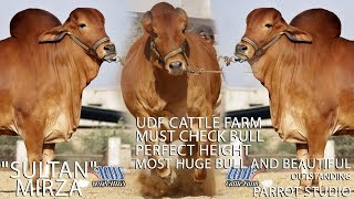 Sultan I UDF Cattle Farm I Sold Out I Perfect Height I Beautiful I Out Class Bull I Parrot Studio