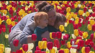 Thousands Of Tulips In Bloom At Rhode Island Farm