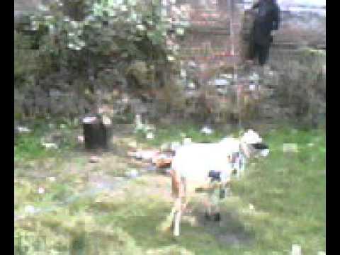 Dangerous Cow Qurbani 2010