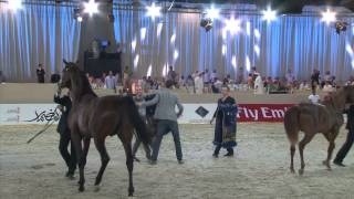 Dubai International Arabian Horse Championship 2013 بطولة دبي