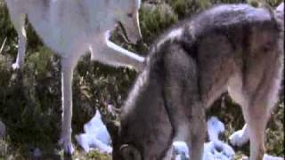 White Fang. Myth Of The White Wolf. Lugia's Song.