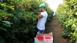Fast way of Picking Raspberries!