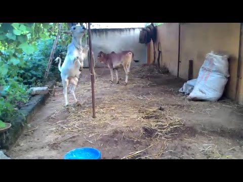 Cow calf playing, nice to see.. video from indian village