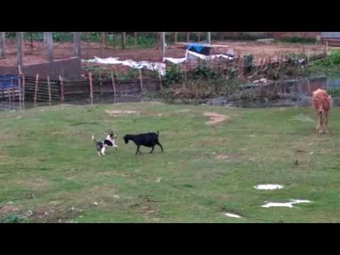 Xxx Mp4 Intresting Fight Of Dog And Goat बकरी और कुत्ते की मजेदार लड़ाई इतना डरपोक कुत्ता नहीं देखा होगा 3gp Sex