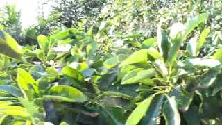 avocado hass 24 low  branching