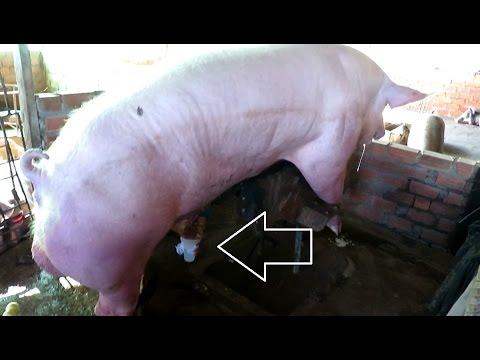 Mode Of Synthetic Artificial Breeding Pigs Joke KH Post