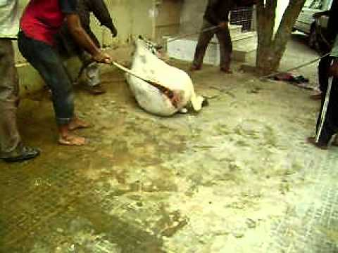 Qurbani of dangerous cow 2011 By Umair