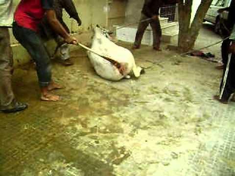 Qurbani of dangerous cow 2011 By Umair