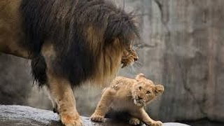 LION ATTACKS AND kills its own LION CUBS - Brutal lion attack video