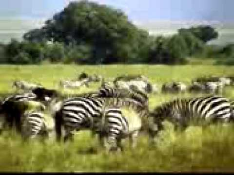 Zebra Africana