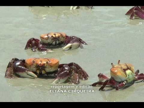 TV Costa Norte - Milhares de Caranguejos migram para praia de Itaguaré