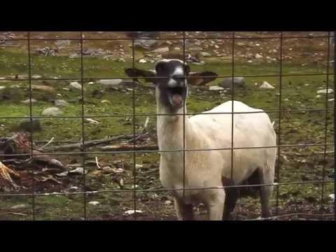 Xxx Mp4 Un Mouton Qui Crie ça Fait Peur 3gp Sex