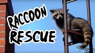 Rescuers Save Raccoon Who Got Its Head Stuck In A Sewer Gate