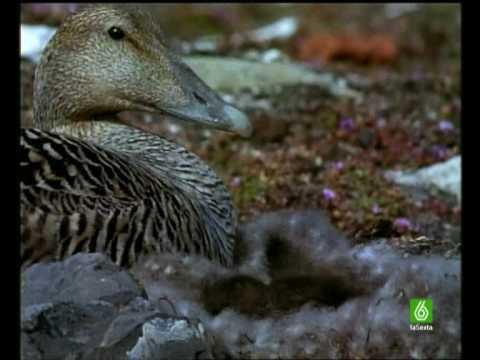 Documental. Patos de Flojel Homenaje a las madres del mundo animal 9 17